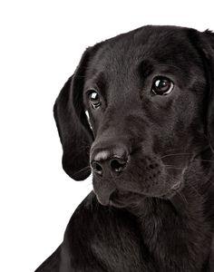 black lab soulful eyes