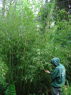 "Fargesia murielae. Non-invasive (clumping), zone 5, shade tolerant bamboo. Grow 10-14""."
