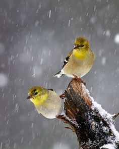 Two Goldfinches in falling snow, 5X7 photo by SonnysPics on Etsy