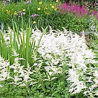 Astilbe - great accent to hastas & adds color to shaded parts of landscape