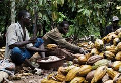 Barry Callebaut joins cocoa farming partnership