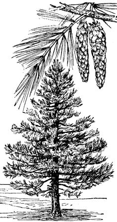 pinon tree coloring pages | Pine Cone of Limber Pine | ClipArt ETC | Colouring Page ...