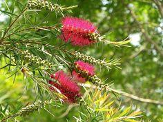 Callistemon phoeniceus Lindl. 1839 (MYRTACEAE)   Arbusto per…   Flickr - Photo Sharing!