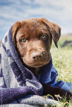 Cute chocolate brown labrador puppy wrapped in a towel by Micky Wiswedel. An exclusive image for Stocksy.com.