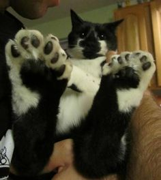 """They call him """"Thirteen.""""  Hemmingway's cats all had these kind of toes.."""