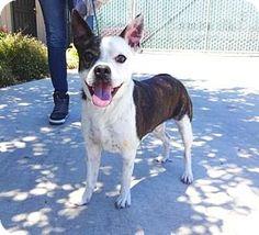 Lathrop, CA - Boston Terrier Mix. Meet Max, a dog for adoption. http://www.adoptapet.com/pet/16122911-lathrop-california-boston-terrier-mix
