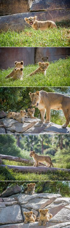 Oshana's four cubs explored their new #Lion Camp digs this week. Guests can see Evelyn, Marion, Miss Ellen and Ernest from 9-11:30am daily. Photos by Bob Worthington.