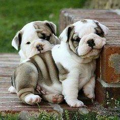 Rolly, Polly, Bulldog Puppies.