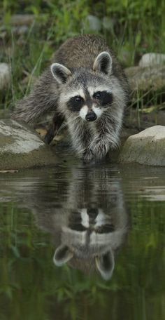 Picture of a raccoon.