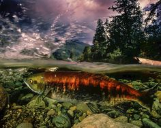 Photograph by @paulnicklen. I am currently in #Alaska looking at the effects of something scientists are calling #TheBlob. It is a body of warm water hanging off the coast of Canada and the US that is affecting both marine and terrestrial ecosystems. Here a sockeye salmon navigates a river in low water. Please #follow me on @paulnicklen to learn a lot more about this story as it unfolds. With @sea_legacy and @cristinamittermeier. #nature #climatechange #river #beauty #love #smile…