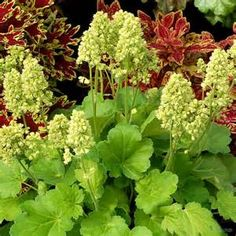 """Heuchera 'Blondie in Lime' provides a stunning contrast to the reds and purples in your shade garden. This is another in the """"Little Cutie"""" series. 