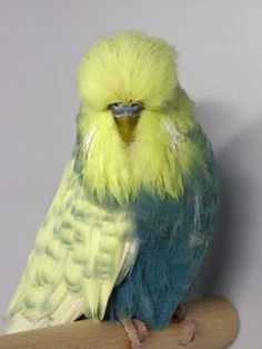 pretty english budgie with unusual coloring All Birds, Cute Birds, Pretty Birds, Little Birds, Beautiful Birds, Exotic Birds, Colorful Birds, Budgie Parakeet, Parakeets