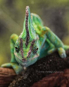 Smiling Chameleon by Lewis Outing on 500px