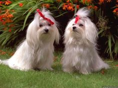 Snow white and Snowflake. My Yorkshire Terriers