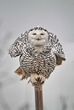 "Snowy owl: "" I could have sworn that this post was much bigger! Nature Animals, Animals And Pets, Cute Animals, Beautiful Owl, Animals Beautiful, Owl Bird, Tier Fotos, Snowy Owl, Pretty Birds"