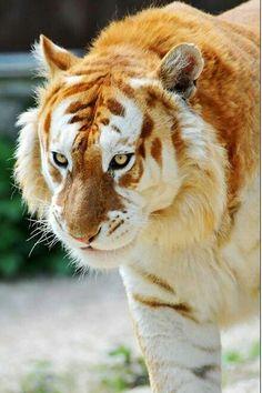 Ce tigre est vraiment magnifique