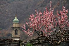 Carema, Piedmont, Italy  fiori rosa, fiori di pesco (by mariagraziaschiapparelli)