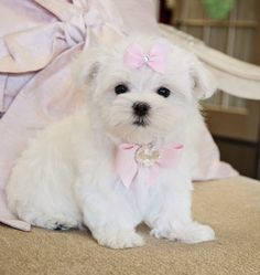 Tiny Maltese PrincessStunning Baby Doll Face!Amazing Lush White Coat!Her face will melt your heart!!SOLD! Moving to Treasure Island!