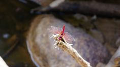 Red dragon fly - a river in Batang Kali, near Genting Highlands, Malaysia
