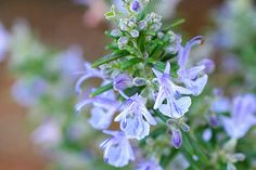 Growing Your Own - gardening advice from the RHS on growing rosemary / RHS Gardening