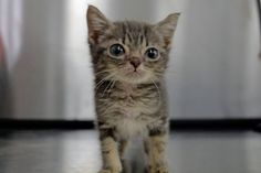 Meet Minnie, the rescue kitten!  Minniehas beendiagnosed withpersistent right aortic arch, which means an embryonic branch of her heartis wrapped around her esophagus. Her esophagus is constricted so she can'teat solid foods. As a result,her growth is severely stunted. Minnie should weigh...