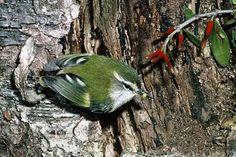 rifleman nz smallest bird