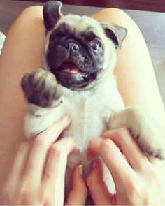Hooman you'd better stop it right now! | photo by @carlacilvetim by pugbasement