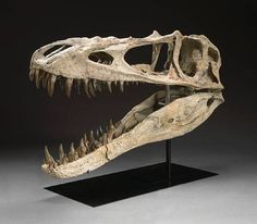 Alioramus altai skull tyrannosaur :) Okay sorry guys for all of the dinosaur pics ^_^ They are one of my favorites things