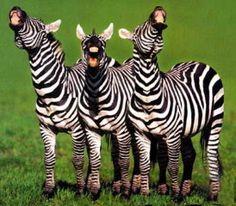 Wat een giller! Kun jij vertellen waarom deze zebra's zo hard moeten lachen?