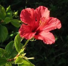 Resultado de imagen para rosa china