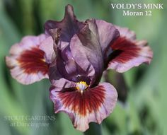 Iris VOLDY'S MINK Brown Flowers, Iris Flowers, Lavender Flowers, Exotic Flowers, Amazing Flowers, Planting Flowers, Beautiful Flowers, Iris Garden, Garden Plants