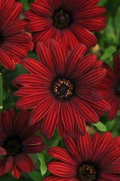 Osteospermum 'Serenity Red' African Daisy True red daisy-type flowers cover this compact plant. Red Flowers, Pretty Flowers, Easy To Grow Bulbs, Red Plants, Red Daisy, Monrovia Plants, Cottage Garden Plants, Plant Catalogs, Hardy Perennials
