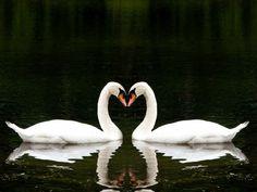 Два белых лебедя
