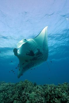 A manta ray passes over a reef, inviting a host of small fish to clean  parasites and other debris off of the giant animal. Manta rays are the  largest rays in the ocean.