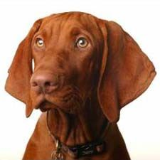 Before working with dogs professionally, I was relatively unfamiliar with the Vizsla.  I did have one friend, older than the rest of our circle, who got a dog (a Vizsla) as a substitute for the fam...