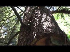 Apis Mellifera in a Vertical Log Hive -- AMAZING VIDEO !