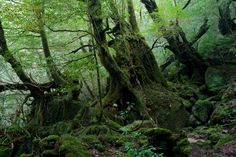 Apparently Yakushima Island's forest was Miyazaki's influence for Princess Mononoke. I predict lots of moss culturing in my future.