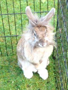 My Lionhead cross rabbit, Lily