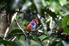 Learn about Sri Lankan Blue Magpie . One of the Birds found in Sri Lanka Magpie, Sri Lanka, Conservation, Birds, Blue, Animals, Animaux, Bird, Animal