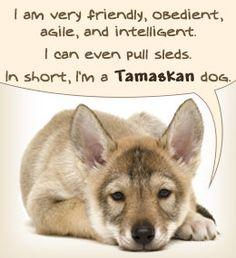 Personality traits of a Tamaskan dog