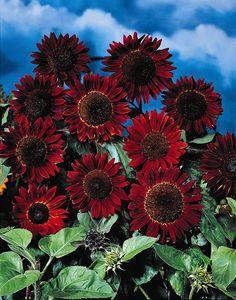 Helianthus Prado Red Rare Flowers, Cut Flowers, Mammoth Sunflower, Ivy Geraniums, Wild Poppies, Black Garden, Sunflower Flower, Red Sun, Black Aesthetic Wallpaper