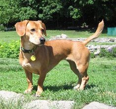 Beagle dachshund mix. My Gibbs looks just like this except he's all black.