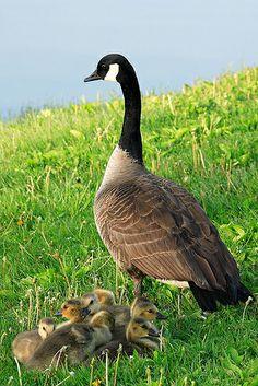 Mama Goose & Her Babies