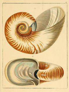 Bd.1:Abt.1 - Systematisches Conchylien-Cabinet / - Biodiversity Heritage Library