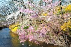 Cherry Blossoms Branch Brook- Cherry Blossoms and Forsythia along the banks of the First River.