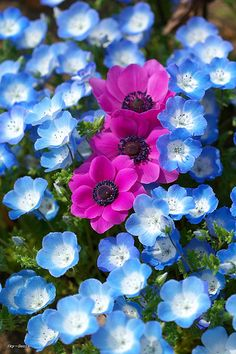 PINK AND BLUE; anemones caressed by baby blue eyes •