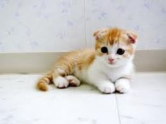 Munchkin scottish fold kitten. I have just discovered the Munchkin breed. I need one.