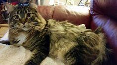 Samberkat cat Katie Belle says hi!