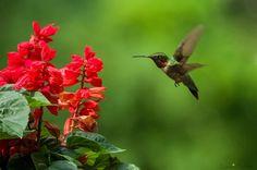 Scarlet Sage   37 Flowers That Attract Hummingbirds