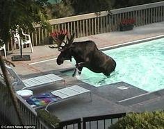 Moose taking a swim in Redmond, Washington State.